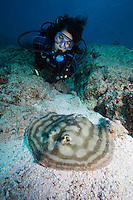QT0748-D.  Reef Stingray (Urobatis concentricus) and scuba diver (model released). Baja, Mexico, Sea of Cortez, Pacific Ocean.<br /> Photo Copyright &copy; Brandon Cole. All rights reserved worldwide.  www.brandoncole.com
