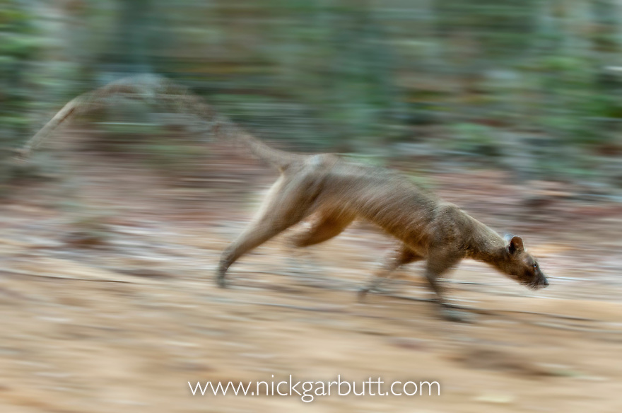 Adult female Fosa (Crytoprocta ferox) (sometimes incorrectly Fossa) running across deciduous forest floor. Kirindy Forest, western Madagascar.