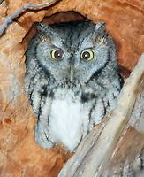 Eastern Screech-Owl (Otus asio) roosting in a tree in early morning