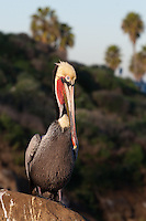 This California brown pelican (Pelecanus occidentalis californicus) is photographed on a rock standing in front of a brush-covered cliff with palm trees and blue sky in the background.  This just looks pure California to me, which is perfect for a California pelican shot.