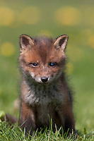 Red Fox (Vulpes vulpes) cub standing on grass, Normandy, France.
