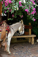 Burro in the town of El Quelite near  Mazatlan, Sinaloa, Mexico