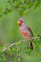 573900062 a wild male pyrrhuloxia cardinalis sinatus perches on a small tree limb on santa clara ranch starr county texas united states