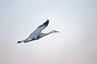 Sandhill Crane in Flight at Bosque Del Apache NWR