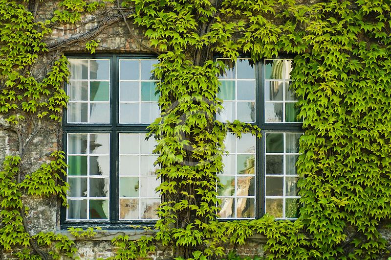 Belgium, Bruges, Window and Ivy