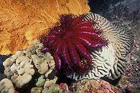 Among the reef's most voracious predators, a Crown-Of-Thorns Sea Star, Acanthaster plancii, devours a brain coral, leaving a white, lifeless trail in its wake. Crown-Of-Thorns have few natural enemies, and are covered with venomous spines. Periodic population explosions have caused tremendous reef damage in certain locales. Similan Islands Marine National Park, Thailand, Andaman Sea
