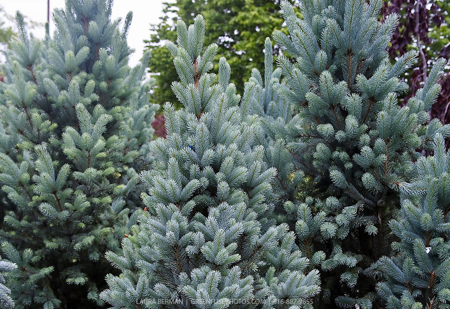 colorado blue spruce picea pungens glauca greenfuse. Black Bedroom Furniture Sets. Home Design Ideas