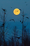 A large flock of Ravens seem to fly toward the full moon in this shot taken in early evening light from the Matanuska Valley near Wasilla, Alaska.