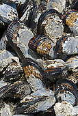 Mussels on rocks at low tide, Mendocino County, California, USA