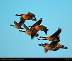 Canada Geese & Domestic Geese