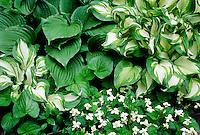 Hostas, white violets #5603. Virginia.