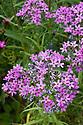 Pink flower clusters of Phlox pilosa, end June.