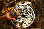 An hand with shells over a steel bowl full of sardines at Bagaman Island in the  Louisiade Archipelago..The Louisiade Archipelago is a string of ten larger volcanic islands frequently fringed by coral reefs, and 90 smaller coral islands located 200 km southeast of New Guinea, stretching over more than 160 km and spread over an ocean area of 26,000 km  between the Solomon Sea to the north and the Coral Sea to the south. The aggregate land area of the islands is about 1,790 kmu178  (690 square miles), with Vanatinai (formerly Sudest or Tagula as named by European claimants on Western maps) being the largest..Sideia Island and Basilaki Island lie closest to New Guinea, while Misima, Vanatinai, and Rossel islands lie further east..The archipelago is divided into the Local Level Government (LLG) areas Louisiade Rural (western part, with Misima), and Yaleyamba (western part, with Rossell and Tagula islands. The LLG areas are part of Samarai-Murua District district of Milne Bay. The seat of the Louisiade Rural LLG is Bwagaoia on Misima Island, the population center of the archipelago. .The Louisiade Archipalego is part of the Milne Bay province of Papua New Guinea..It lies between approximately 10 degrees south and 11.5 degrees south, and 151 degrees east and 154 degrees east. It is an area of Islands, reefs and cays some 200 nm long and 50 nm wide, stretching from the south east tip of mainland Papua New Guinea in a east south east direction..