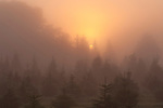 Sunrise in fog with Christmas trees