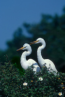 525006547 a wild pair of great egrets casmerodius albus perch on a large tree in an egret and heron rookery in southern louisiana