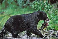 MA282  Black Bear with chum salmon it has caught.