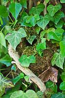 Wren's nest nestled secretly hidden among ivy leaves on a wall in The Cotswolds, Oxfordshire, England, UK