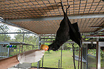 Feeding time at the Tolga Bat Hospital aviary where the fruitbats or flying foxes are fed different fruits from bananas, apples, watermelon to milk and water. Black flying fox (Pteropus alecto) Rusty being mischievous.