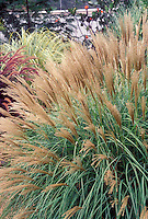 Miscanthus sinensis Adagio ornamental grass in bloom