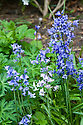 Bluebells (Hyaconthoides non-scripta), mid May.