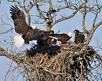 Bald Eagle brings grass to the nest for the eaglets.