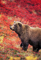 Female grizzly bear in autumn blueberry patch, Denali National Park, Alaska