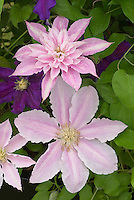 Clematis 'Prinsesse Alexandra' Early Large-flowered perennial climbing vine in pink tones