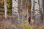 bugling trophy bull elk from deep withing aspen forest