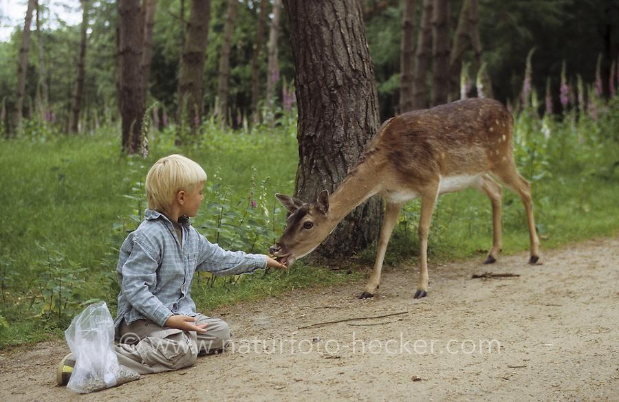 Damhirsch, Dam-Hirsch, Damwild, Dam-Wild, Kind füttert zahmes Tier im Wildpark, Cervus dama, Dama dama, fallow deer