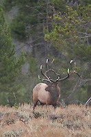 Bull elk in Yellowstone National Park Wyoming (Cervus canadensis)