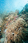 Medhu Kandu, Mulaku Atoll, Maldives; an aggregation of Redfin Anthias, Black-nosed Cardinalfish and Golden Sweeper fish packed tightly into an indentation in the coral reef
