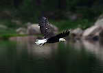 Aug. 14, 2012; Wood Canyon Lake trees forest bird bald eagle fish rainbow trout feeding Mandatory Credit: Mark J. Rebilas