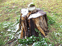 Cyprus Stump with Snow