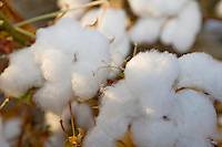 Cotton - Close-up,  near Los Banos, CA