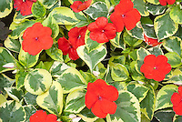 Impatiens 'Masquerade' with variegated foliage and red flowers