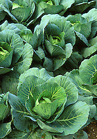 Cabbage (or cole) crop. Vegetable garden, gardening, agriculture, food. New Jersey, United States.