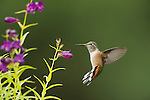 A broad-tailed hummingbird forages among the bright flowers in Northwest Wyoming.