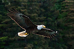 Bald Eagle, Glacier Bay National Park and Preserve, Alaska, USA