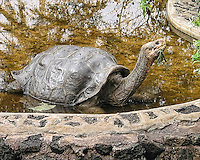 Famous Galapagos Tortoise, Lonesome George