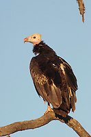 White-headed Vulture (Trigonoceps occipitalis), South Africa