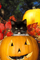 Stern but very adorable black kitten sitting inside Halloween pumpkin