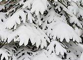 Heavy snow weighs down the boughs of an evergreen.