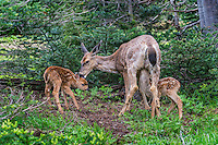 Columbian black-tailed deer (Odocoileus hemionus columbianus) doe licking (cleaning) one fawn while another one nurses.  Pacific Northwest.  Summer.