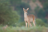 White-tailed Deer, Odocoileus virginianus, young buck, Uvalde County, Hill Country, Texas, USA, April 2006
