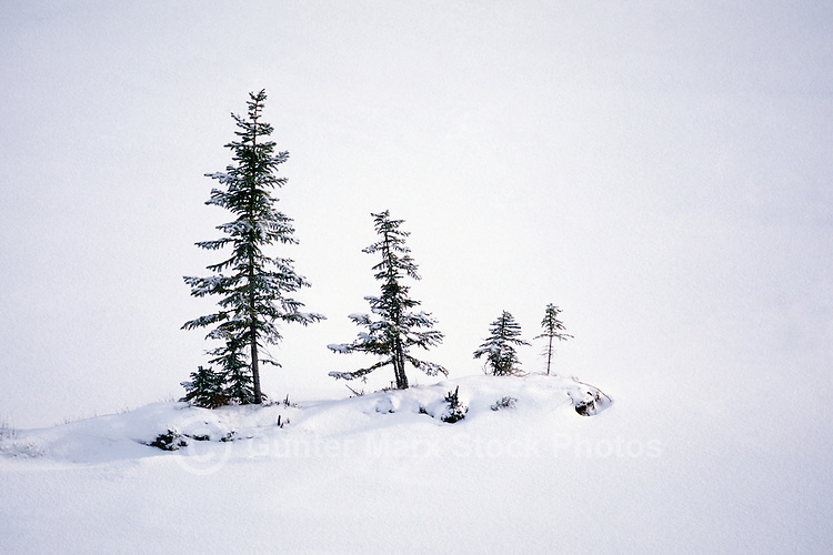 Coniferous Trees covered in Snow - Winter Wonderland Setting