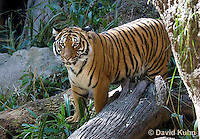 0328-1001  Malayan Tiger, Panthera tigris malayensis  © David Kuhn/Dwight Kuhn Photography.