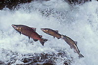 Lx321  Chinook salmon or King salmon leaping falls on spawning migration.
