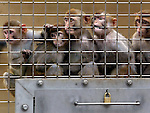 Rhesus monkeys watch from a group cage as students from Beaver Acres Elementary School help to plant their own hand-painted bamboo planters at the Oregon National Primate Research Center. The planters then being placed near the Rhesus monkey outdoor shelters to help keep them entertained....