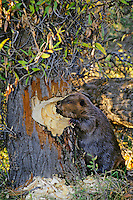 North American Beaver cutting down cottonwood tree in fall.  It will store many of the tree branches in its pond for winter food.  Western U.S.