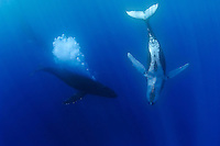 Humpback whales (Megaptera novaeangliae) exhibiting courtship behavior: Competing male whale approaching female while aggressively blowing bubbles, Hawai'i